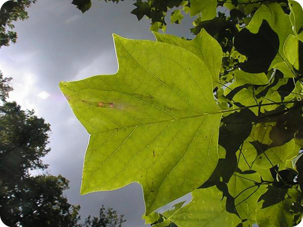 Tulip Tree, Tree Surveys